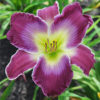 A Time To Paws Daylily available at Ellies Daylilies in Unity Maine