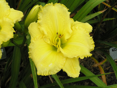 Embroidery Plus Daylily