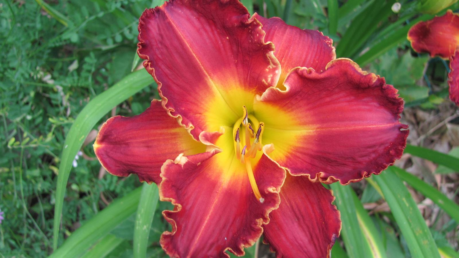 Forged in Fire Daylily