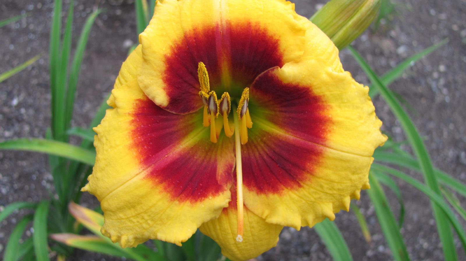 Sungold Candy Daylily