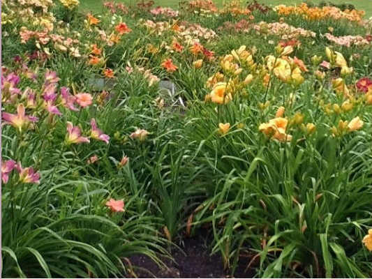 field of daylilies